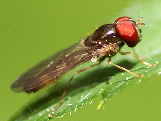 Syrphid Fly - Platycheirus - male