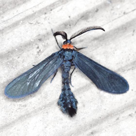 Grapeleaf Skeletonizer Moth - Hodges #4624 - Harrisina americana