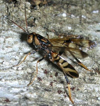 Wasp 1 - Ibalia anceps