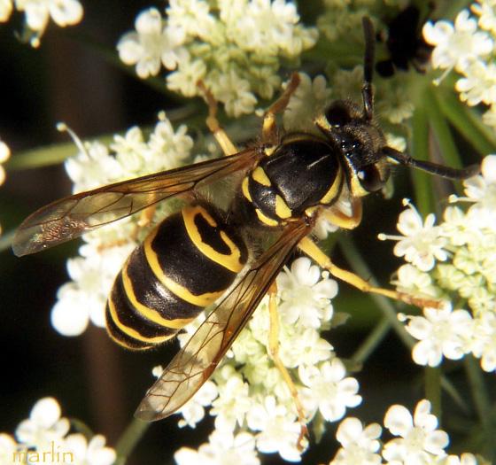 Eastern Yellowjacket - Vespula maculifrons - female