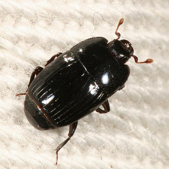 Clown Beetle - Platysoma leconti