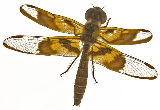 Amberwing? - Perithemis tenera - female