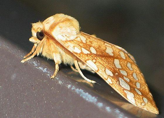 Hickory Tussock Moth - side - Lophocampa caryae
