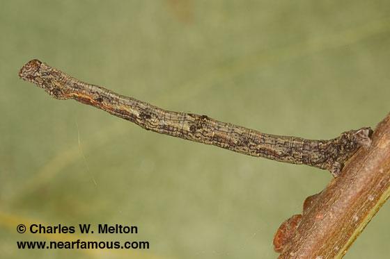Besma sesquilinearia larva Day 14 - Besma sesquilinearia