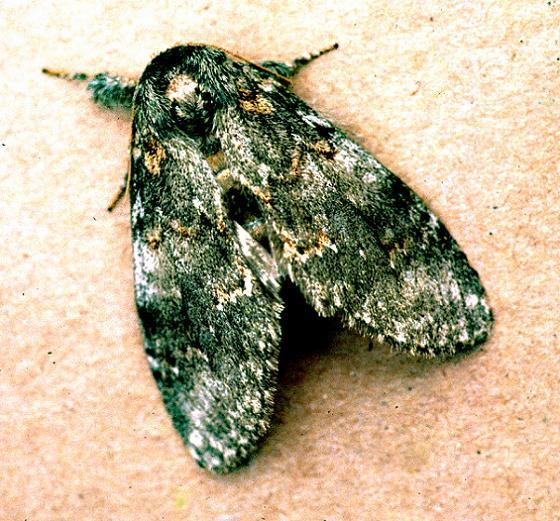 Angulose Prominent Moth - Peridea angulosa - female