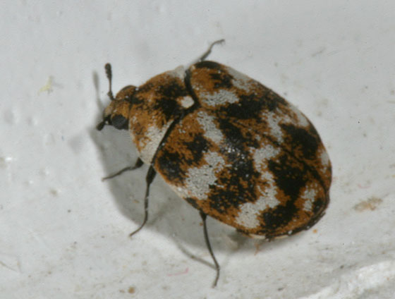 Beetle - Anthrenus verbasci