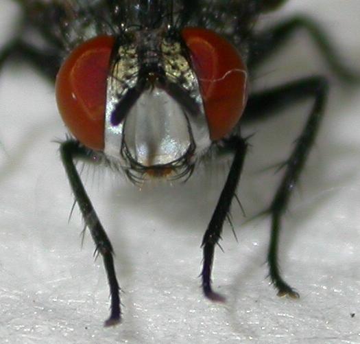 Fly - Exorista