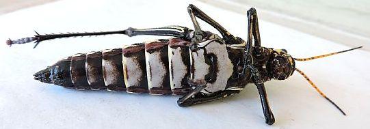 Arizona Grasshopper  - Taeniopoda eques - female