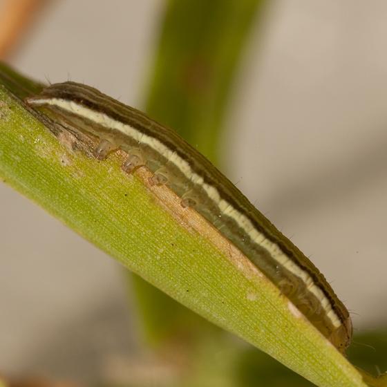Day 11 -- Caterpillar E - Anicla infecta