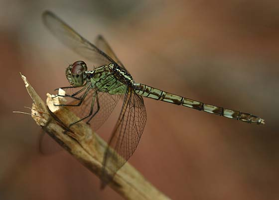 Band-Winged Dragonlet - Erythrodiplax umbrata - female