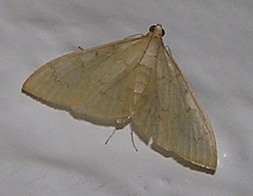 Early Zanglognatha? - Hahncappsia mellinialis