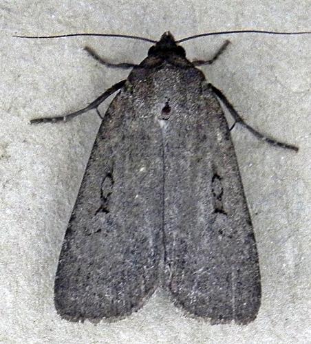 Spaelotis clandestina  - Spaelotis clandestina