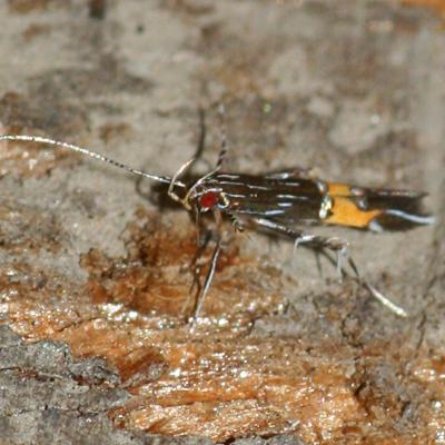 Cosmet Moth - Cosmopterix lespedezae