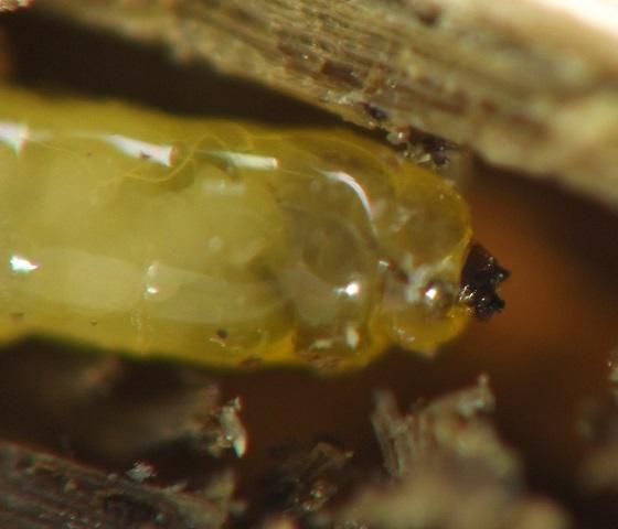 Grass culm borer - Thrypticus