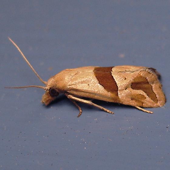 Broad-patch Carolella Moth - Hodges#3782 - Eugnosta sartana