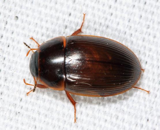 Hydrophilid - Helocombus bifidus