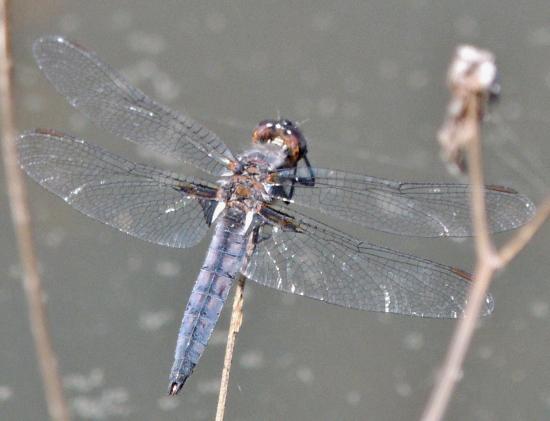Libellulidae-Ladona deplanata - Blue Corporal-Male - Ladona deplanata - male