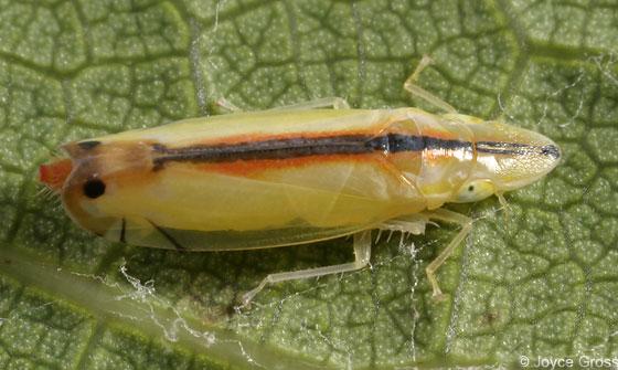 leafhopper - Sophonia orientalis