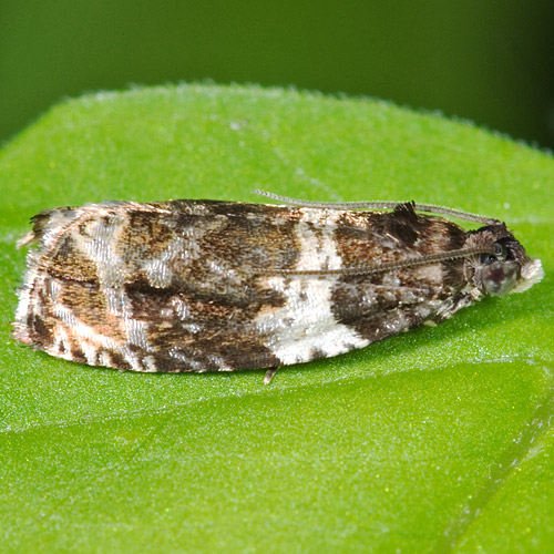 Dusky Leafroller - Hodges#2770 - Olethreutes fasciatana