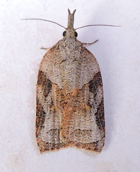 Arizona Moth - Platynota wenzelana - female