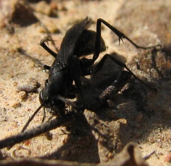 Pompilid - Priocnemis cornica