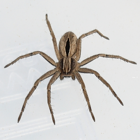 spider - Thanatus formicinus