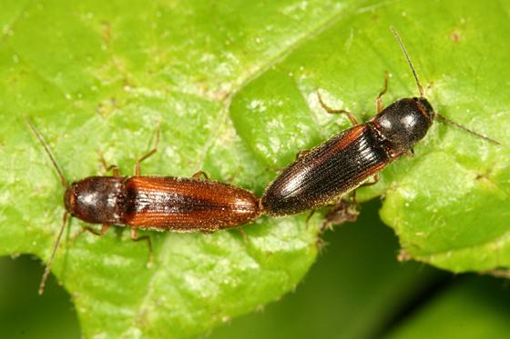 mating clicks - Dalopius vagus - male - female