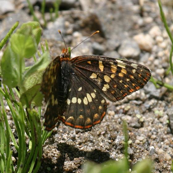 Northern Checkerspot - Chlosyne palla - female