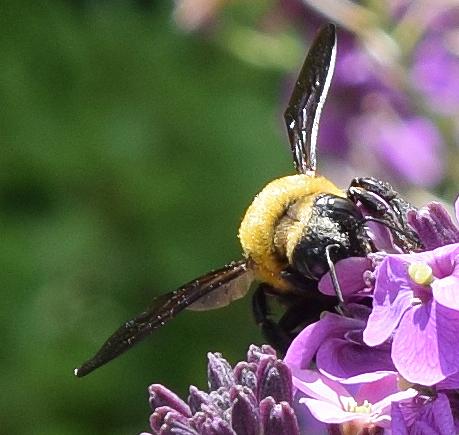 Xylocopa appendiculata Smith - Xylocopa appendiculata - male