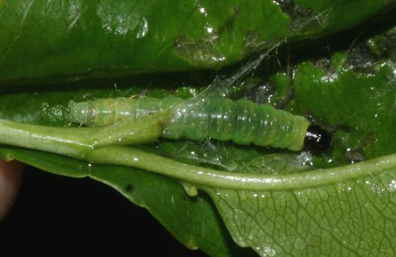 Olethreutinae, larva - Olethreutes inornatana
