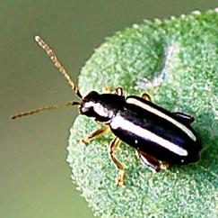 Beetle - Systena elongata