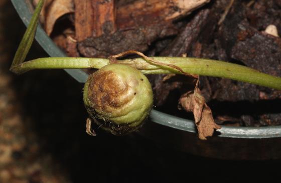 Creeping Charley galls - Liposthenes glechomae