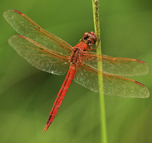 Needham's Skimmer? - Libellula needhami - male