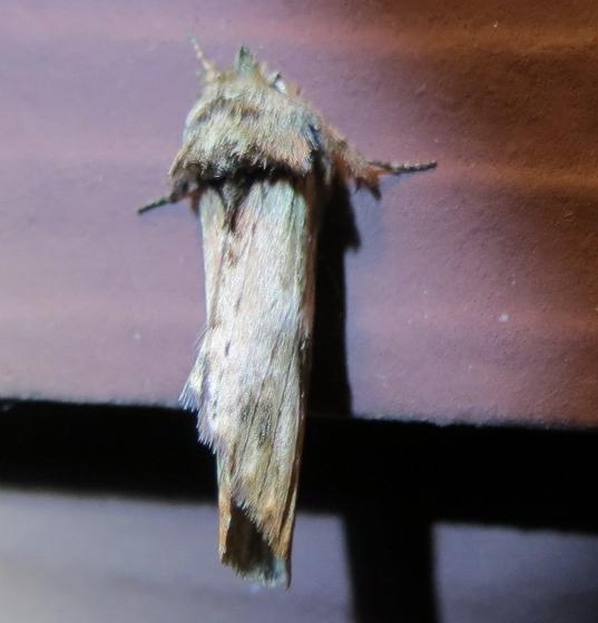 Oligocentria? - Oligocentria semirufescens