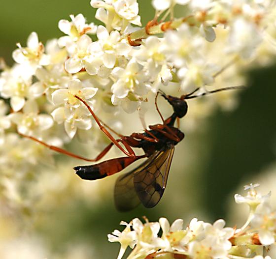 Aulacidae - Pristaulacus occidentalis - male