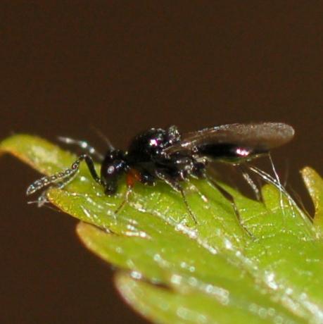 Tiny wasp - Platygaster
