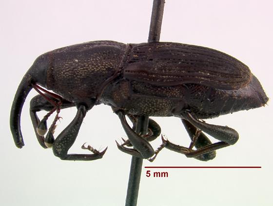 LSAM billbug 28   - Sphenophorus venatus