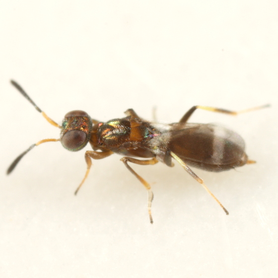 Chalcid from Quercus prinoides gall - Brasema gemmarii - female