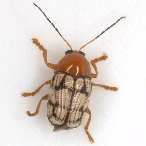 Cryptocephalus guttulatus Olivier - Cryptocephalus guttulatus