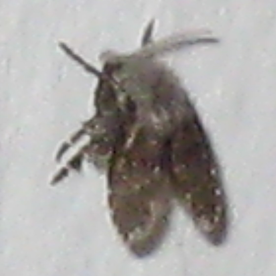 small black fly-like insect - Clogmia albipunctata