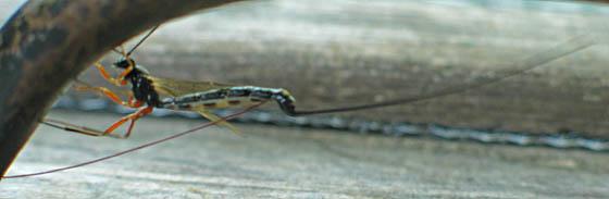 Ichneumon Wasp? Ovipositor - female