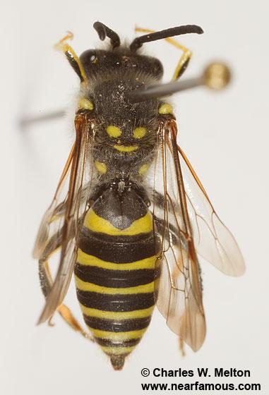 Nomada edwardsii species group - Nomada - male