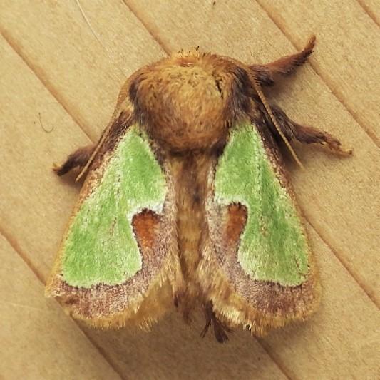Limacodidae: Euclea delphinii - Euclea delphinii
