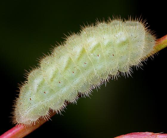 Cat ID - Strymon melinus