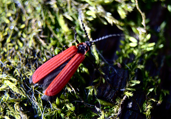 Dictyoptera aurora? - Dictyoptera aurora