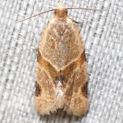 Clepsis peritana