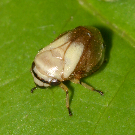 Spittle Bug - Clastoptera proteus