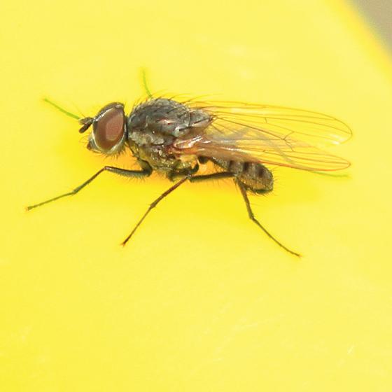 mystery fly - male