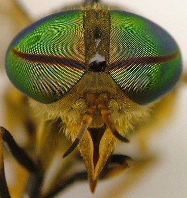 Horse fly - Tabanus quinquevittatus