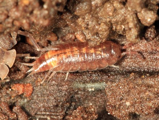 Woodlouse - Trichoniscus